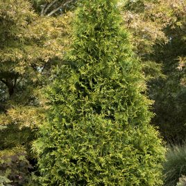 ARBORVITAE TINY TOWER 2G
