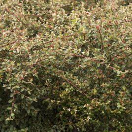 COTONEASTER CORAL BEAUTY 1G
