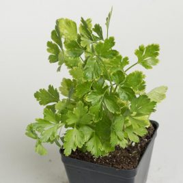 HERB CUTTING CELERY 3″