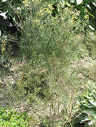 HERB FENNEL BRONZE 3″