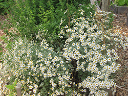 HERB CHAMOMILE GERMAN 3″