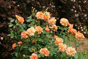ROSE AT LAST 2G