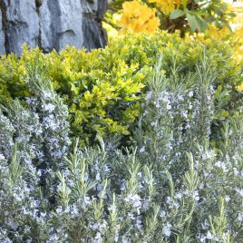 Rosemary Plant Arp HG 3.5″