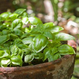 Basil Plant Sweet HG 3.5″
