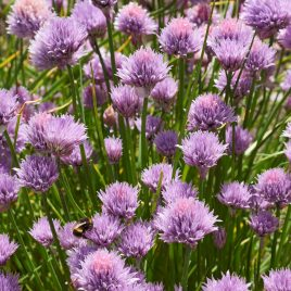 Chives Plant HG 3.5″