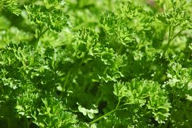 Parsley Plant Curled HG 3.5″