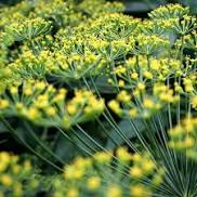 Dill Plant Bouquet HG 3.5″