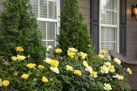 ROSE YELLOW SHRUB 2G