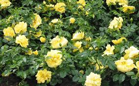 ROSE CARPET YELLOW 2G
