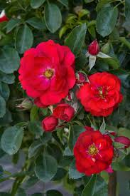 ROSE CARPET SCARLET 2G
