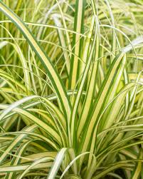 GRASS CAREX EVERORO 1G