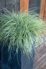 GRASS CAREX EVERLITE 1G