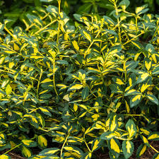 EUONYMUS MOONSHADOW 2G