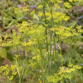 Dill Plant Fernleaf HG 3.5″