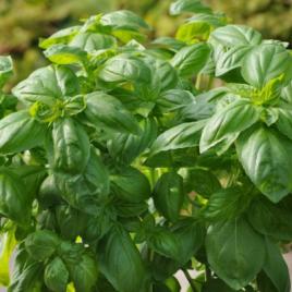 Basil Plant Dolce Fresca HG 3.5″