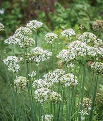 Chives Plant Garlic Geisha HG 3.5″