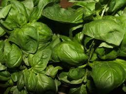 Basil Plant Genovese HG 3.5″