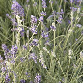 Lavender Plant Munstead HG 3.5″