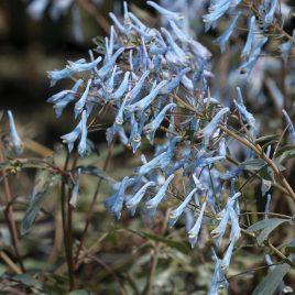 CORYDALIS HILLIER BLUE 1G